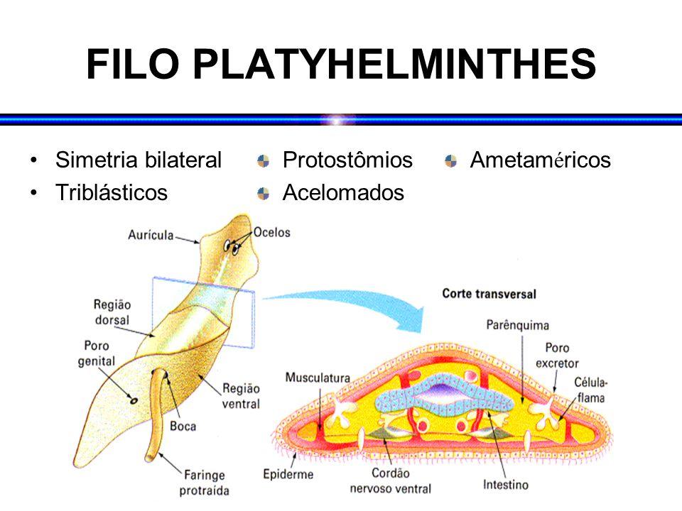 FILO PLATYHELMINTHES Simetria bilateral Triblásticos Protostômios Acelomados Ametam é ricos