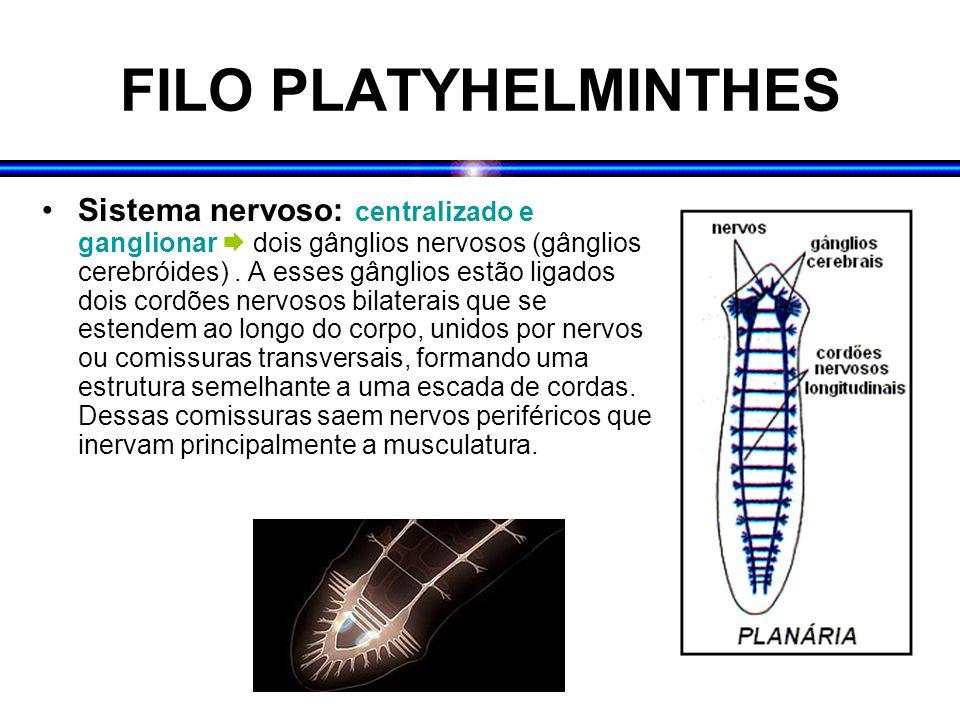 FILO PLATYHELMINTHES Sistema nervoso: centralizado e ganglionar  dois gânglios nervosos (gânglios cerebróides). A esses gânglios estão ligados dois c