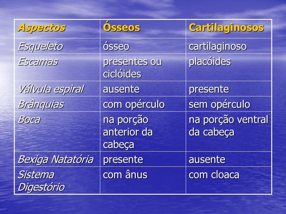 AspectosÓsseosCartilaginosos Esqueletoósseocartilaginoso Escamas presentes ou ciclóides placóides Válvula espiral ausentepresente Brânquias com opércu