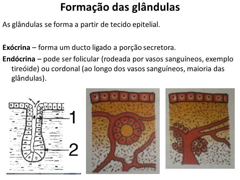 Formação das glândulas As glândulas se forma a partir de tecido epitelial. Exócrina – forma um ducto ligado a porção secretora. Endócrina – pode ser f