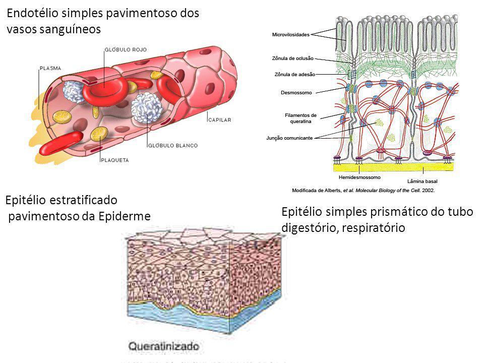 Endotélio simples pavimentoso dos vasos sanguíneos Epitélio estratificado pavimentoso da Epiderme Epitélio simples prismático do tubo digestório, resp