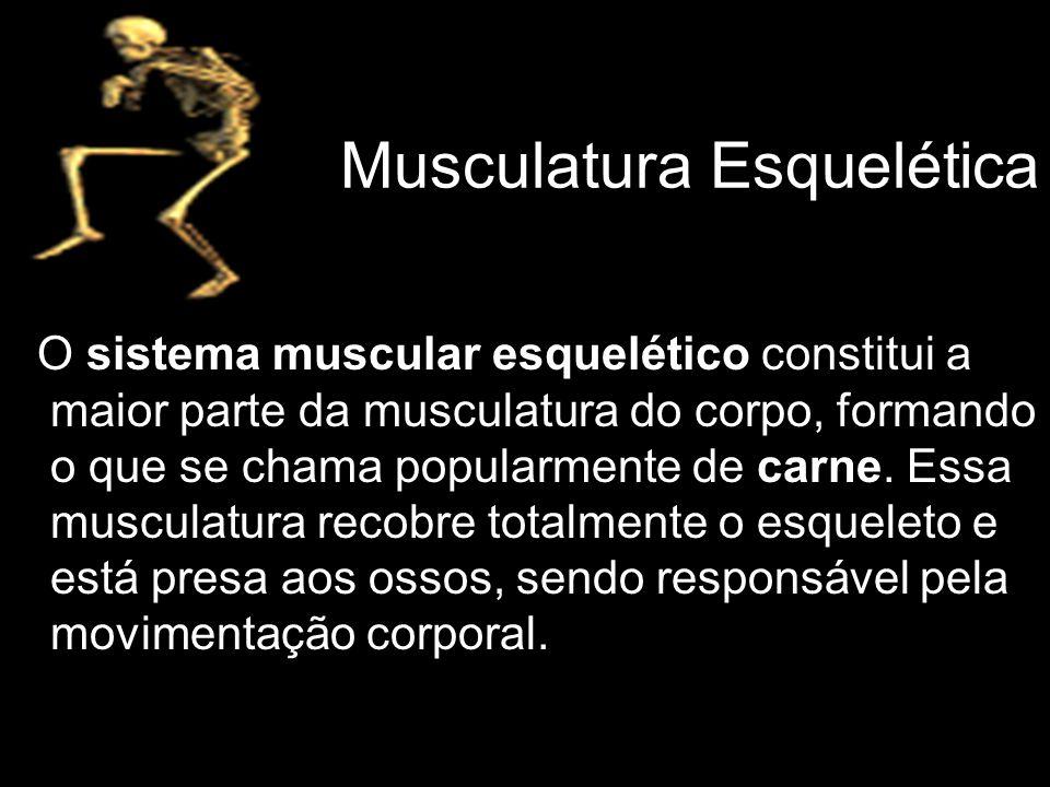 Musculatura Esquelética O sistema muscular esquelético constitui a maior parte da musculatura do corpo, formando o que se chama popularmente de carne.