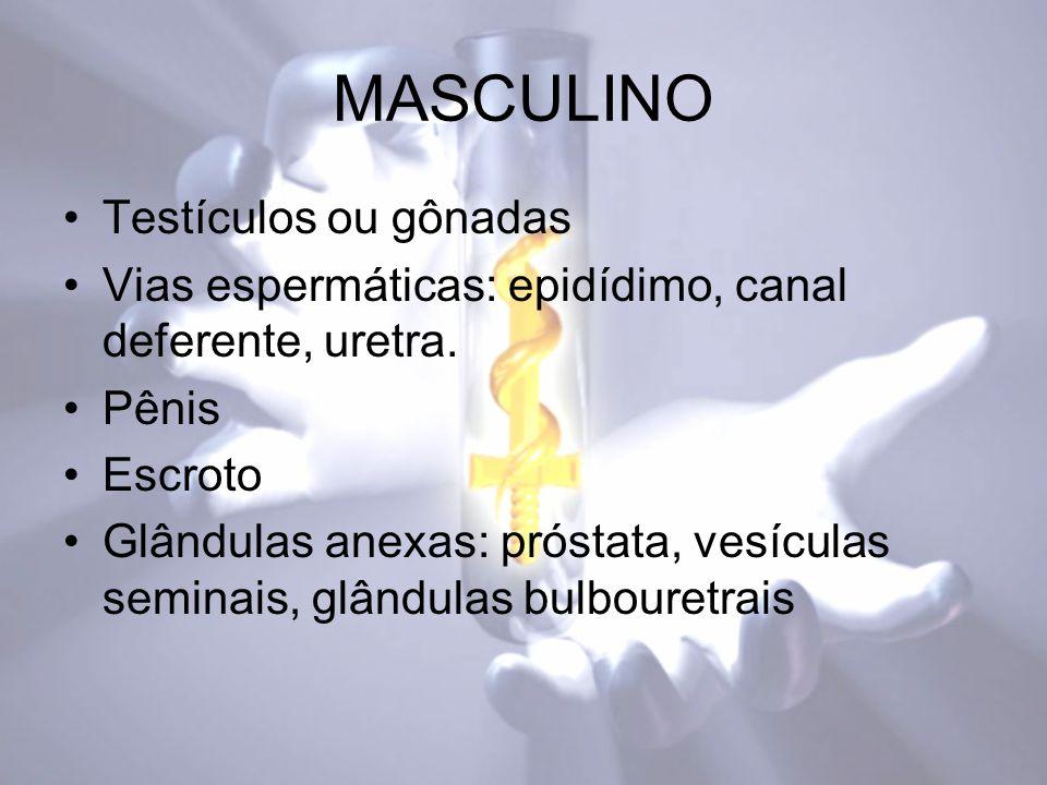 MASCULINO Testículos ou gônadas Vias espermáticas: epidídimo, canal deferente, uretra.