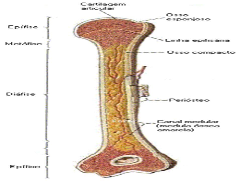 SISTEMA DIGESTÓRIO O sistema digestório humano é formado por um longo tubo musculoso, ao qual estão associados órgãos e glândulas que participam da digestão.