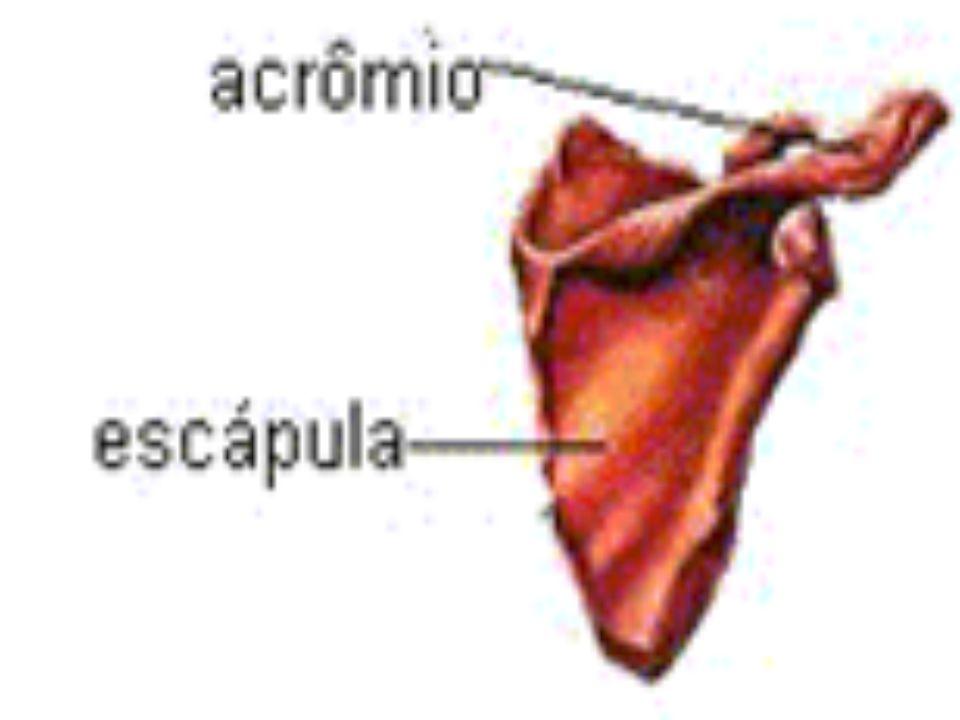 GLÂNDULAS ANEXAS -Pâncreas -Fígado