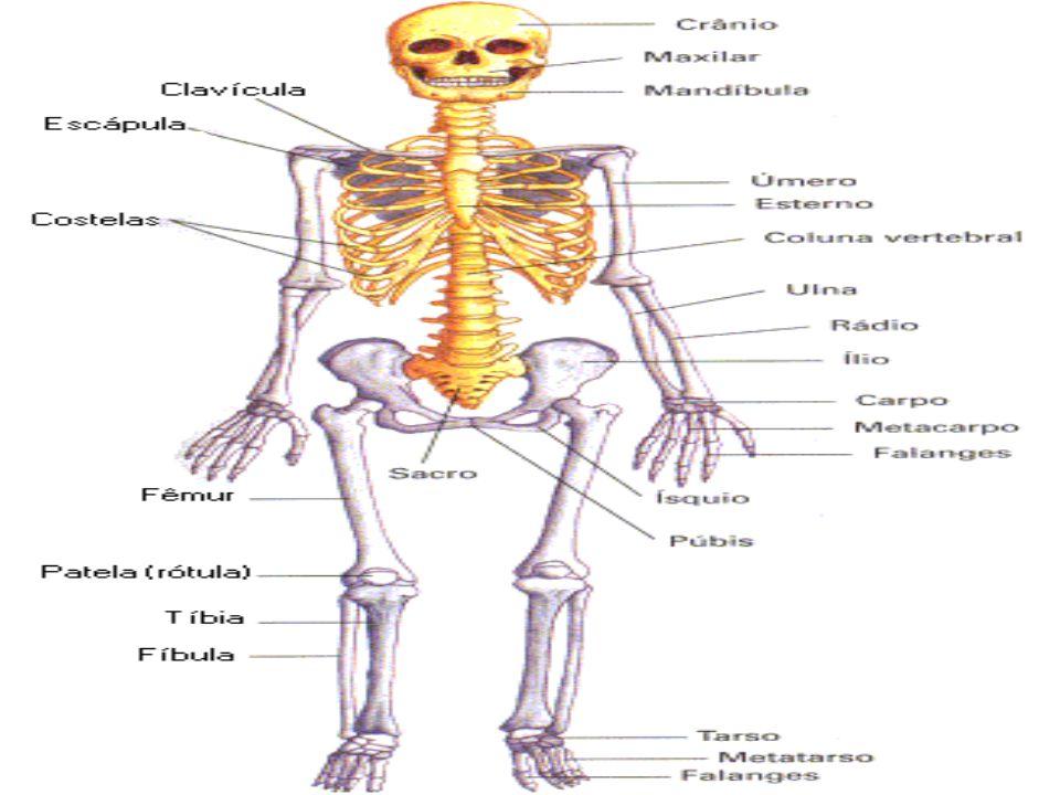 CEREBELO É responsável por facilitar os movimentos musculares coordenados e finos e ajuda na manutenção do equilíbrio.