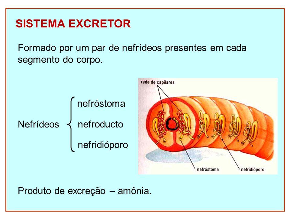 SISTEMA EXCRETOR Formado por um par de nefrídeos presentes em cada segmento do corpo. Nefrídeos nefróstoma nefroducto nefridióporo Produto de excreção