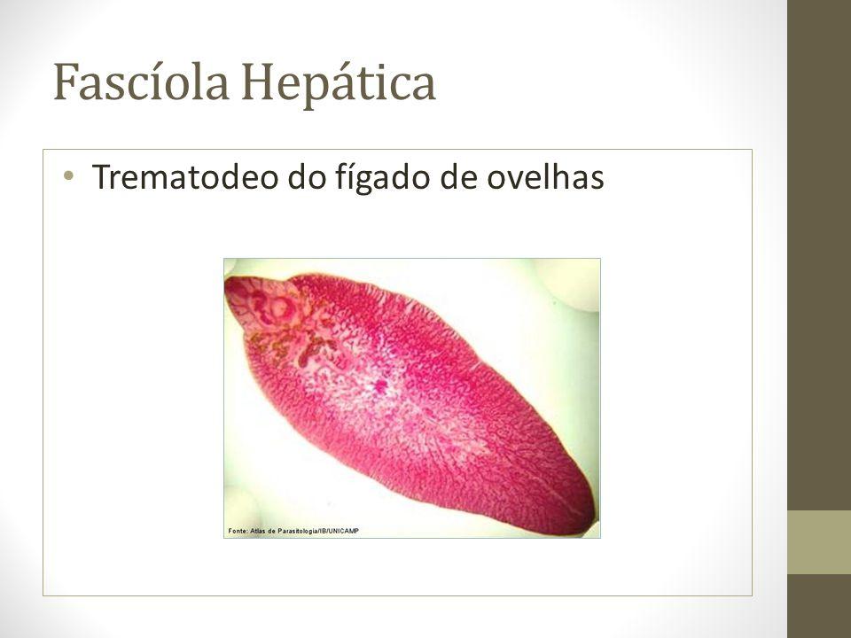 Fascíola Hepática Trematodeo do fígado de ovelhas