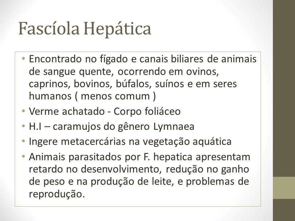 Fascíola Hepática Encontrado no fígado e canais biliares de animais de sangue quente, ocorrendo em ovinos, caprinos, bovinos, búfalos, suínos e em seres humanos ( menos comum ) Verme achatado - Corpo foliáceo H.I – caramujos do gênero Lymnaea Ingere metacercárias na vegetação aquática Animais parasitados por F.