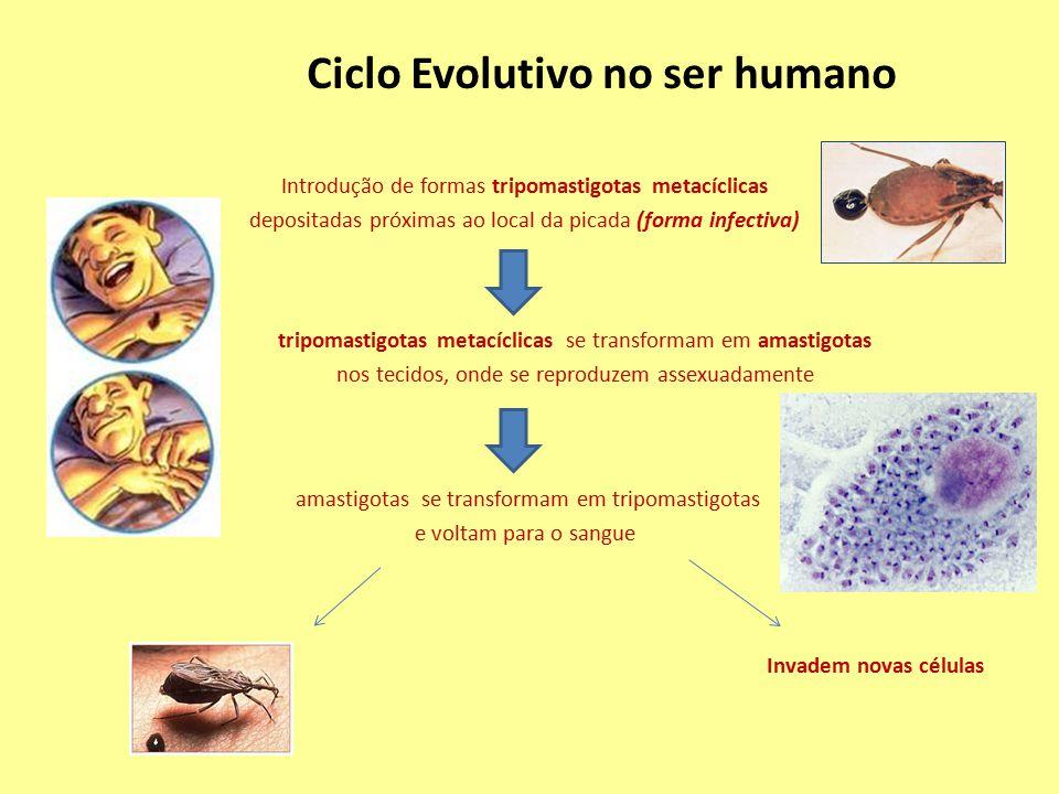 Introdução de formas tripomastigotas metacíclicas depositadas próximas ao local da picada (forma infectiva) Ciclo Evolutivo no ser humano tripomastigo