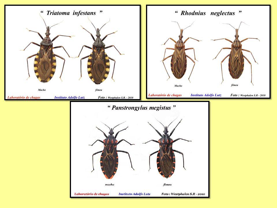 Discriminação morfológica de Triatomíneos hematófago predador fitófago