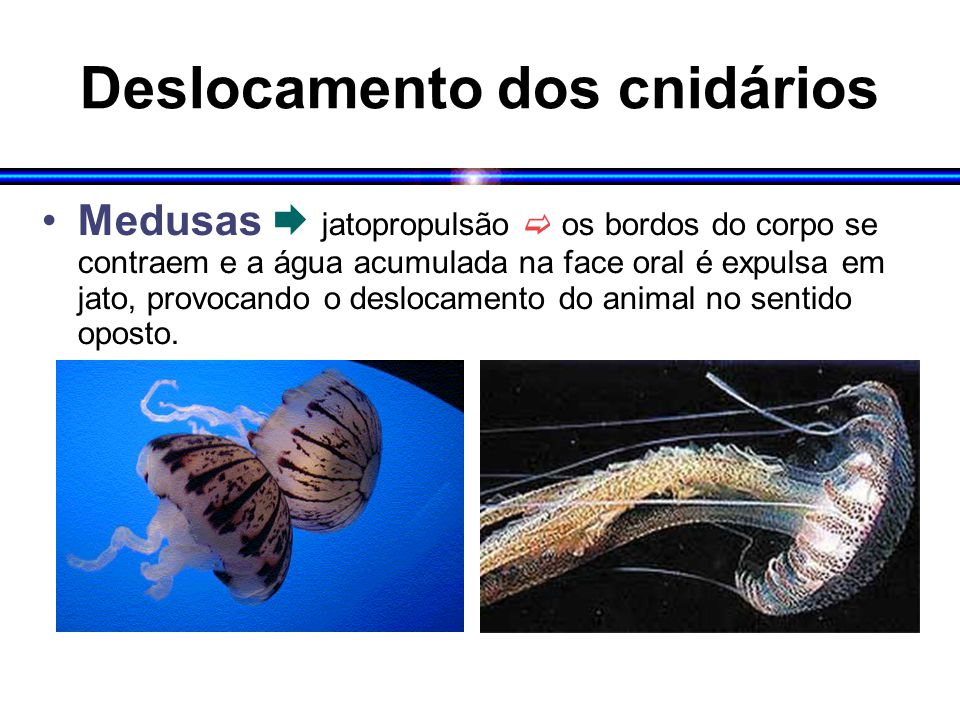 Deslocamento dos cnidários Medusas  jatopropulsão  os bordos do corpo se contraem e a água acumulada na face oral é expulsa em jato, provocando o de