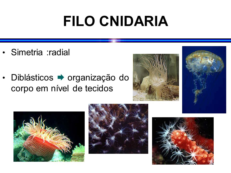 FILO CNIDARIA Simetria :radial Diblásticos  organização do corpo em nível de tecidos