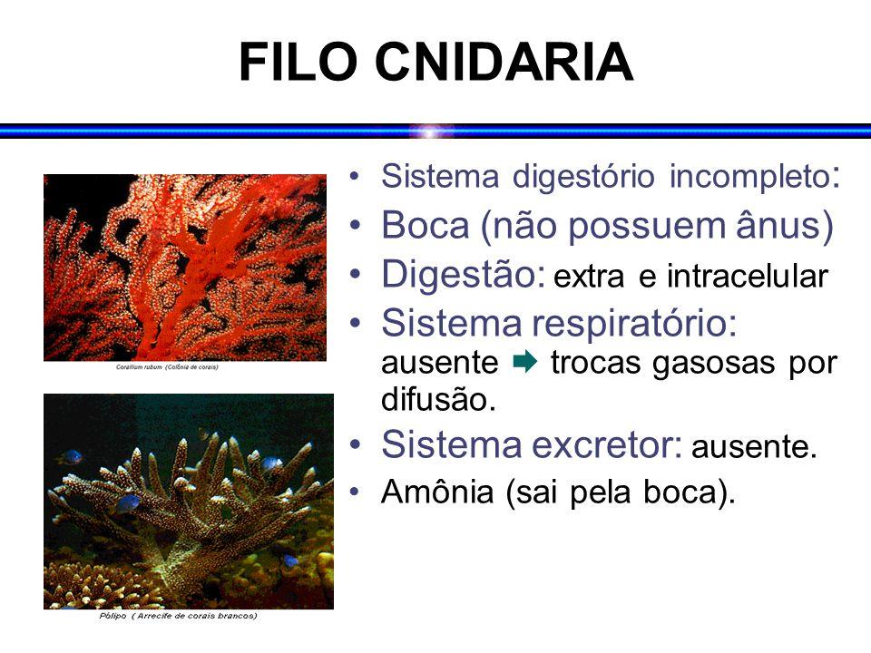 FILO CNIDARIA Sistema digestório incompleto : Boca (não possuem ânus) Digestão: extra e intracelular Sistema respiratório: ausente  trocas gasosas po
