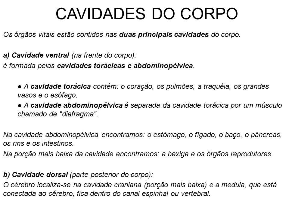 CAVIDADES DO CORPO Os órgãos vitais estão contidos nas duas principais cavidades do corpo. a) Cavidade ventral (na frente do corpo): é formada pelas c