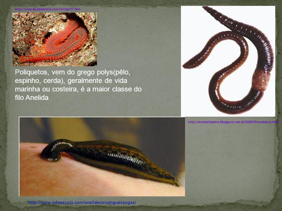 http://www.infoescola.com/anelideos/sanguessugas/ http://renatachaiene.blogspot.com.br/2008/08/aneldeos.html Poliquetos, vem do grego polys(pêlo, espi