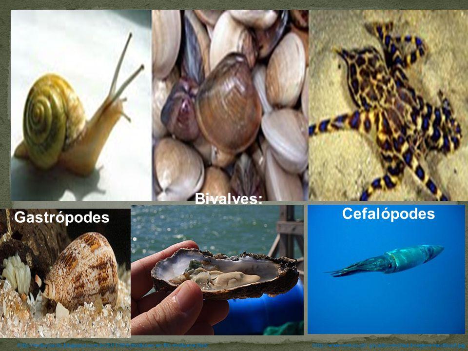 http://www.mat.uc.pt/~picado/conchas/imagens/nautilus2.jpghttp://molucos-bc.blogspot.com.br/2011/09/introducao-ao-filo-mollusca.html Bivalves: Cefalóp