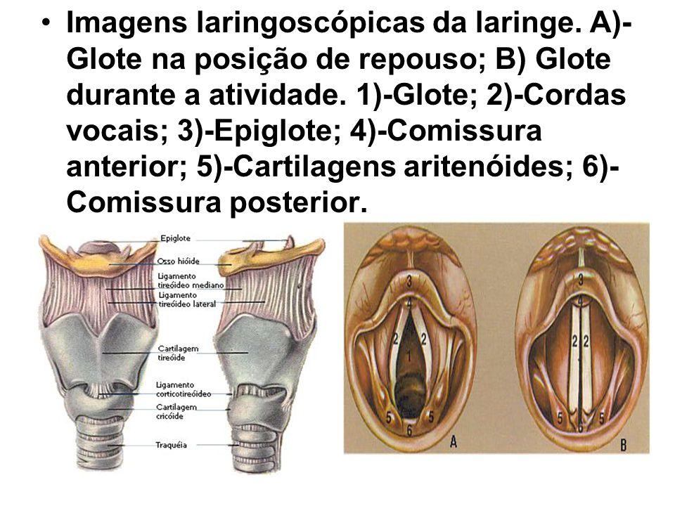 Imagens laringoscópicas da laringe. A)- Glote na posição de repouso; B) Glote durante a atividade. 1)-Glote; 2)-Cordas vocais; 3)-Epiglote; 4)-Comissu