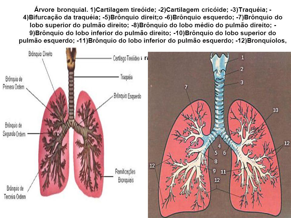 Árvore bronquial.