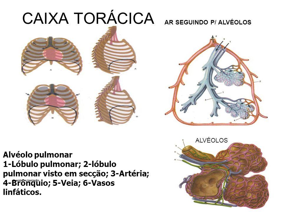 CAIXA TORÁCICA Alvéolo pulmonar 1-Lóbulo pulmonar; 2-lóbulo pulmonar visto em secção; 3-Artéria; 4-Brônquio; 5-Veia; 6-Vasos linfáticos. Quando, na in