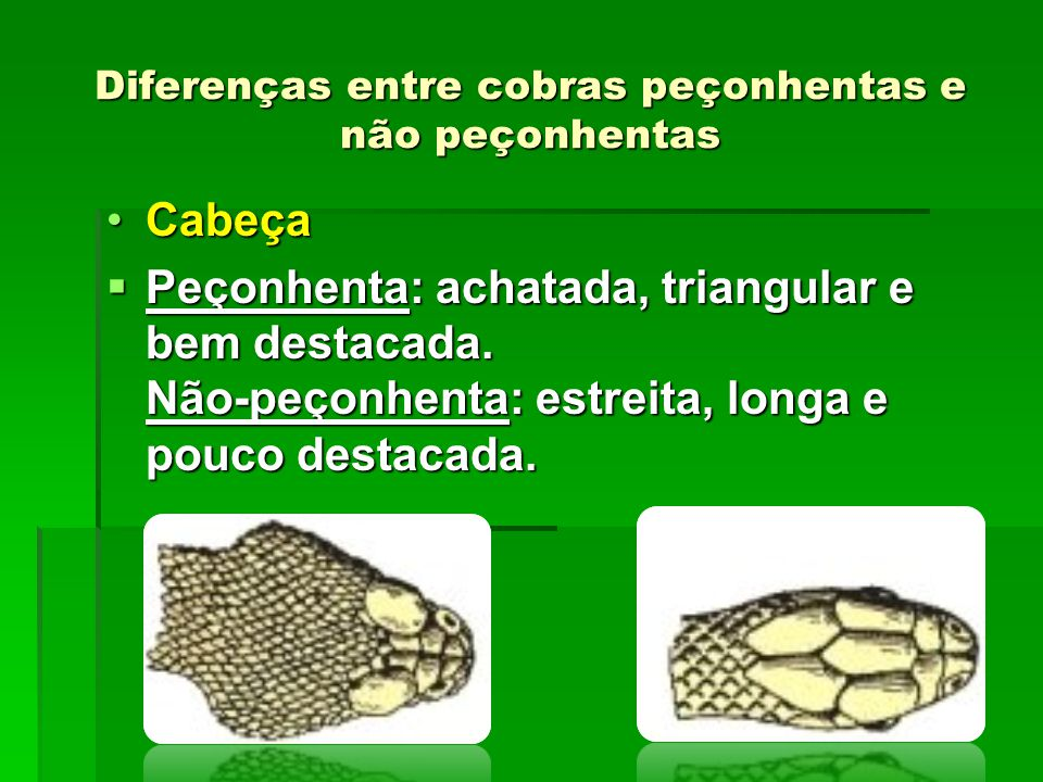 Diferenças entre cobras peçonhentas e não peçonhentas CabeçaCabeça  Peçonhenta: achatada, triangular e bem destacada. Não-peçonhenta: estreita, longa