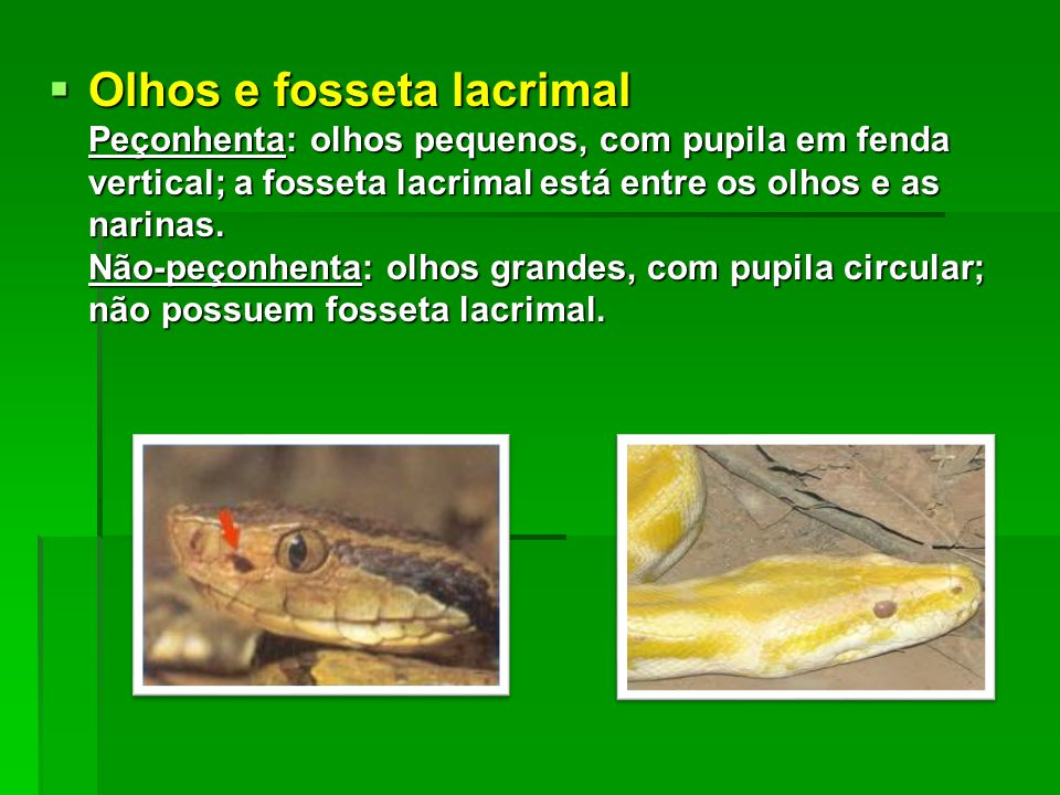  Olhos e fosseta lacrimal Peçonhenta: olhos pequenos, com pupila em fenda vertical; a fosseta lacrimal está entre os olhos e as narinas. Não-peçonhen