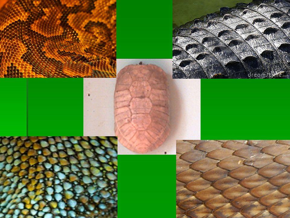 Diferenças entre cobras peçonhentas e não peçonhentas CabeçaCabeça  Peçonhenta: achatada, triangular e bem destacada.