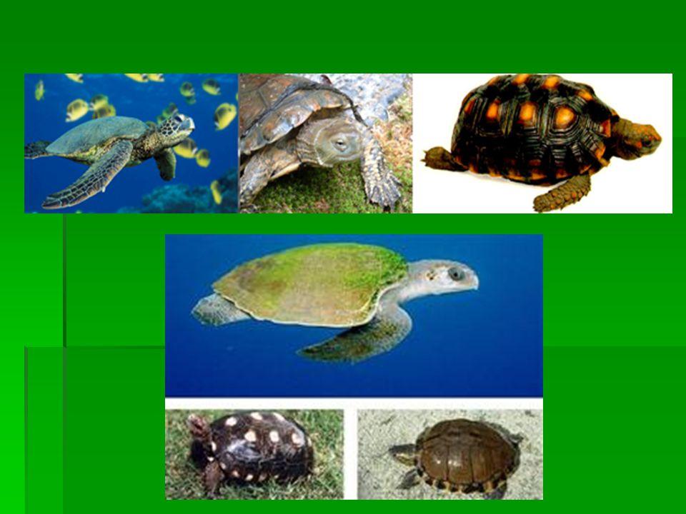  Crocodilianos: têm corpo alongado e recoberto por placas córneas.
