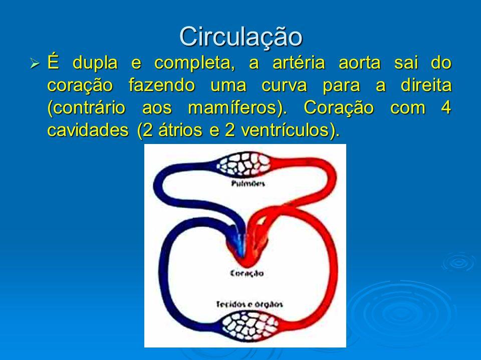 Circulação  É dupla e completa, a artéria aorta sai do coração fazendo uma curva para a direita (contrário aos mamíferos).