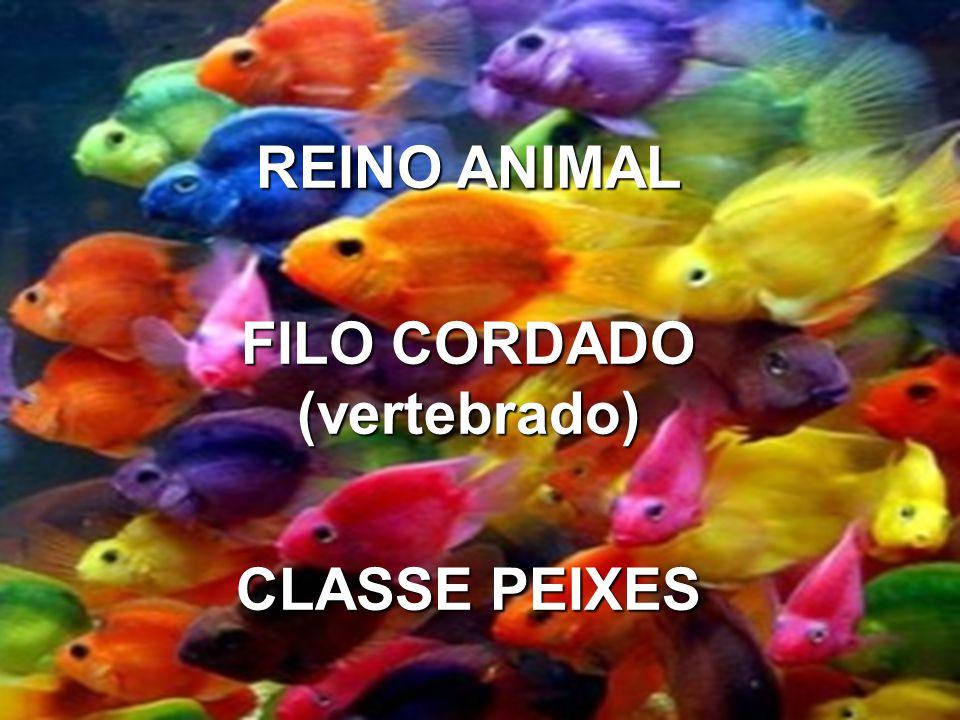 REINO ANIMAL FILO CORDADO (vertebbrado) CLASSE PEIXES REINO ANIMAL FILO CORDADO (vertebrado) CLASSE PEIXES