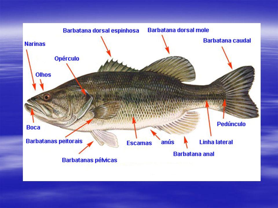CLASSIFICAÇÃO  Osteíctes – peixes ósseos Ex: sardinha, bacalhau, atum, lebistes...