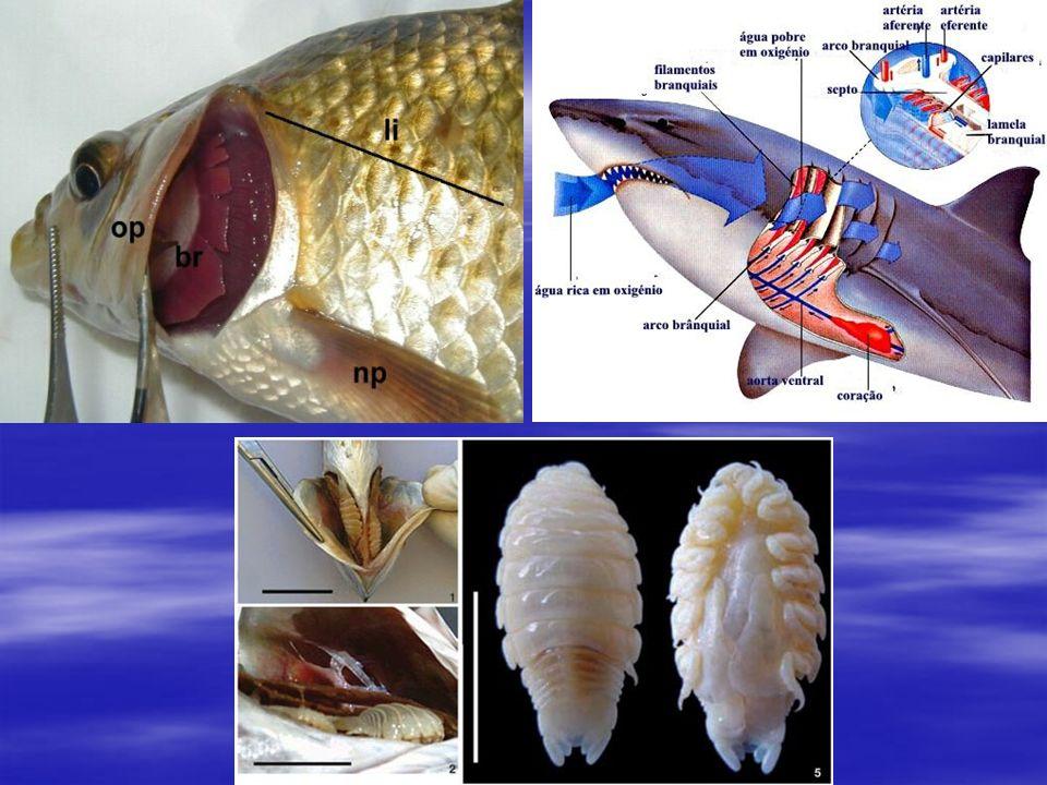   Alguns possuem bexiga natatória, bolsa que se enche de ar e controla os movimentos de subida e descida do peixe na água.