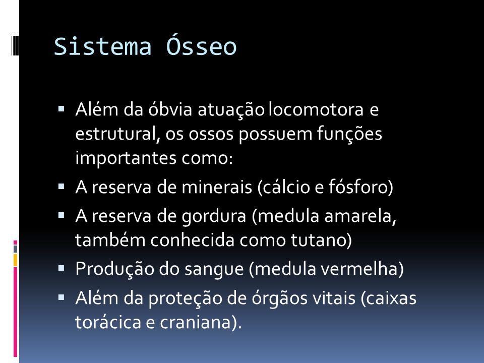 Sistema Ósseo  Além da óbvia atuação locomotora e estrutural, os ossos possuem funções importantes como:  A reserva de minerais (cálcio e fósforo) 