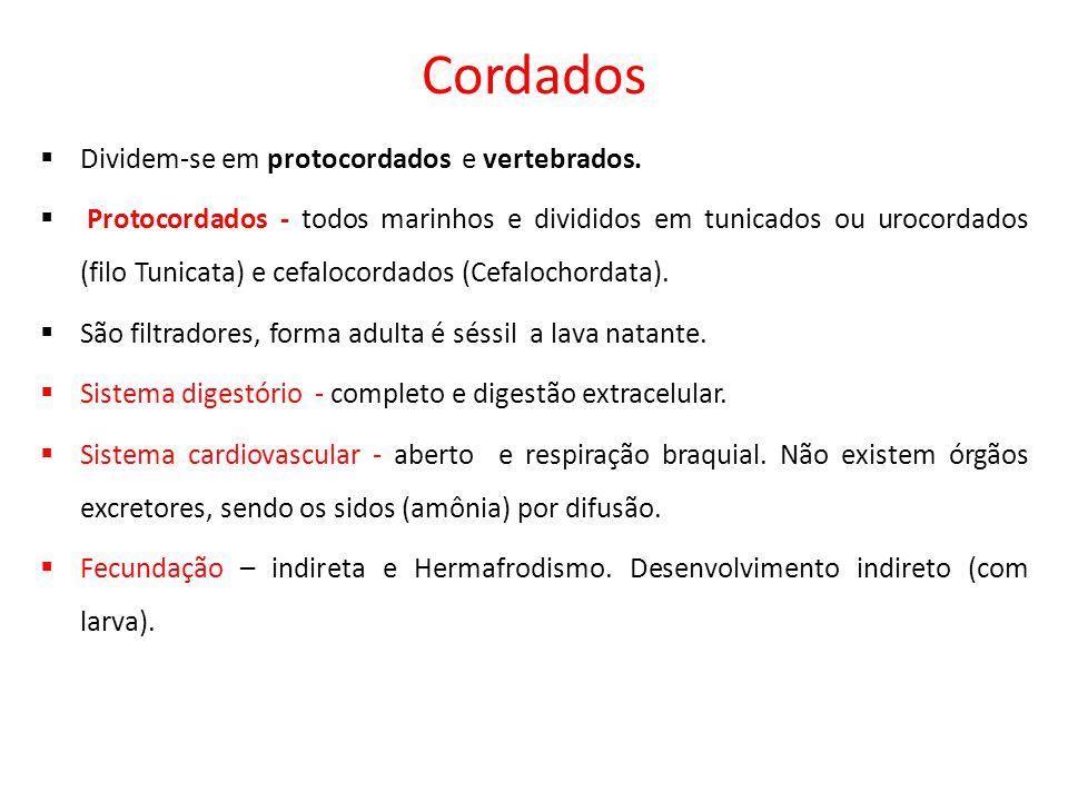 Cordados  Dividem-se em protocordados e vertebrados.  Protocordados - todos marinhos e divididos em tunicados ou urocordados (filo Tunicata) e cefal