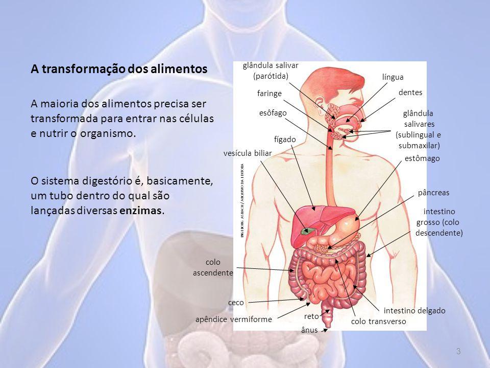 A transformação dos alimentos A maioria dos alimentos precisa ser transformada para entrar nas células e nutrir o organismo.