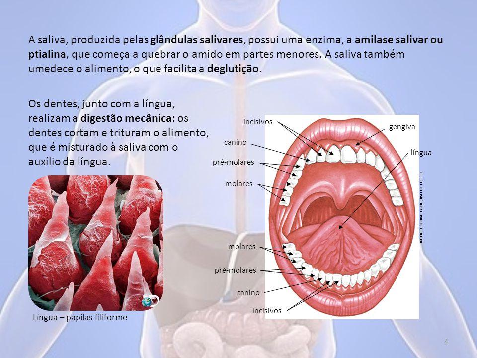 A estrutura do dente está adaptada ao trabalho de quebrar o alimento.