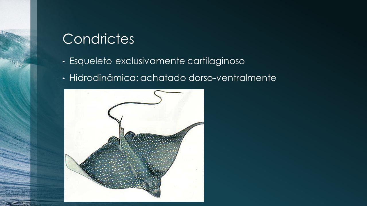 Condrictes Esqueleto exclusivamente cartilaginoso Hidrodinâmica: achatado dorso-ventralmente