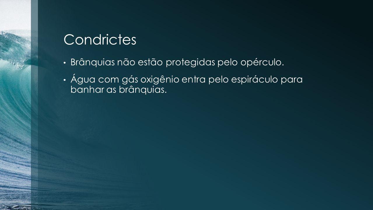Condrictes Brânquias não estão protegidas pelo opérculo. Água com gás oxigênio entra pelo espiráculo para banhar as brânquias.