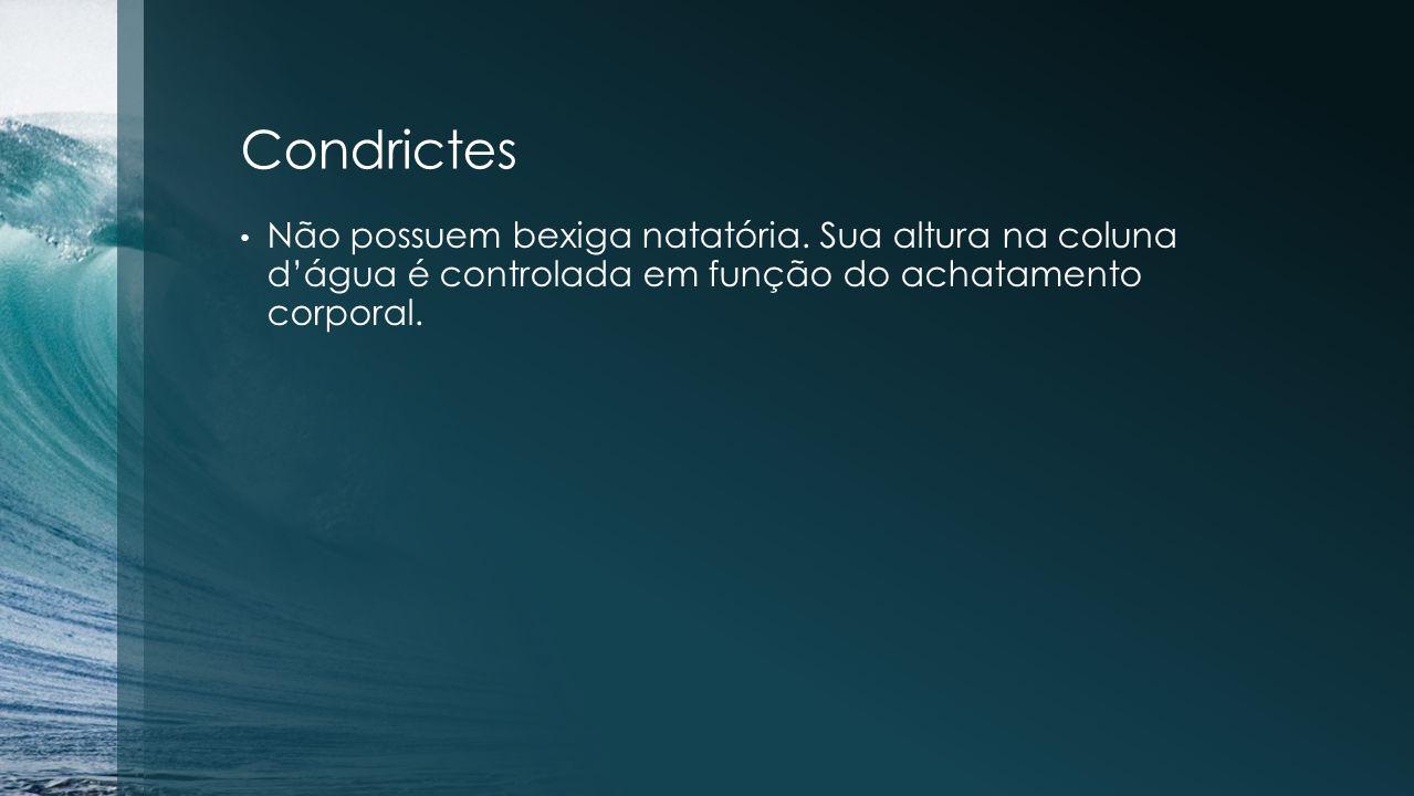 Condrictes Não possuem bexiga natatória. Sua altura na coluna d'água é controlada em função do achatamento corporal.