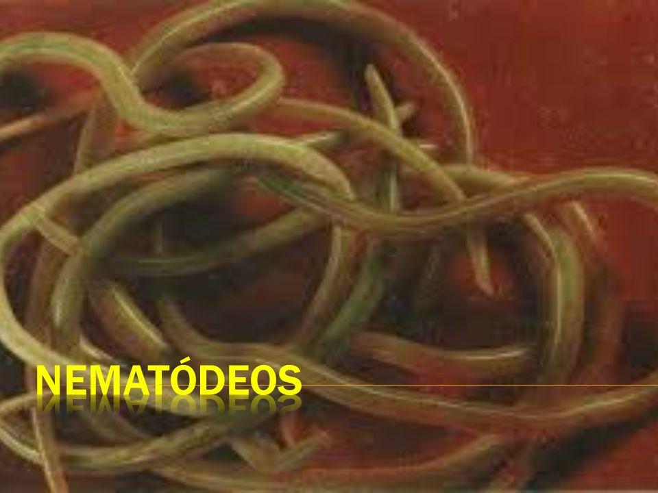  São vermes que possuem corpo alongado, cilíndrico e com as extremidades afiladas;  Exemplos clássicos: lombriga (Ascaris lumbricoides ), ancilóstomo (Ancylostoma duodenale);  Espécies de vida livre e parasitas;