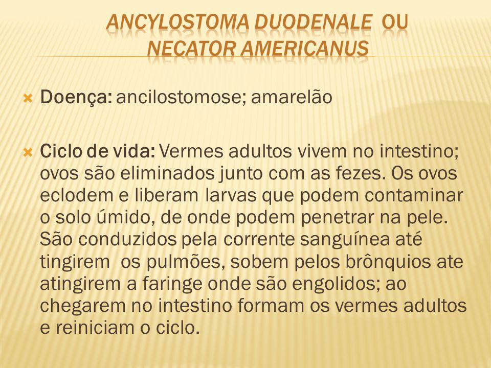  Doença: ancilostomose; amarelão  Ciclo de vida: Vermes adultos vivem no intestino; ovos são eliminados junto com as fezes. Os ovos eclodem e libera