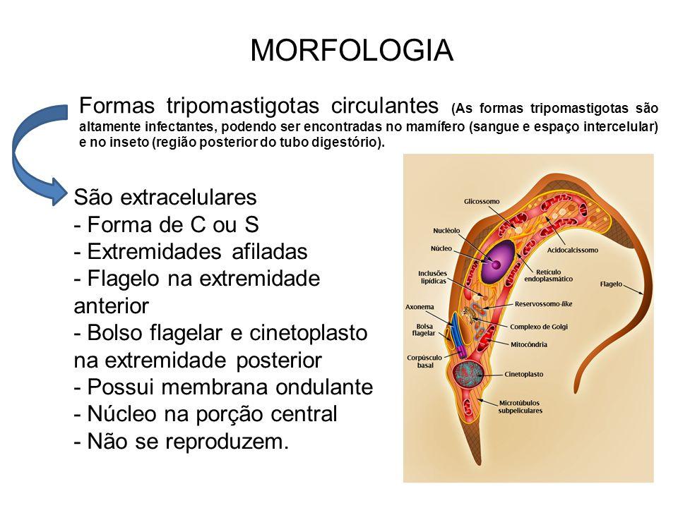 A forma tripomastigota é alongada e levemente achatada.