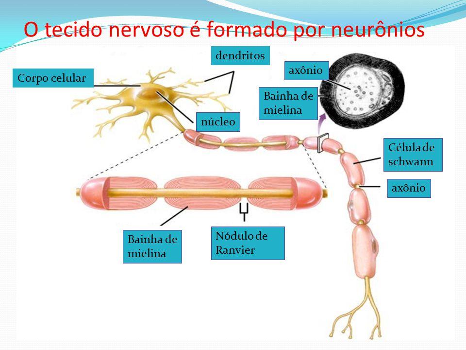 O tecido nervoso é formado por neurônios dendritos Corpo celular Bainha de mielina axônio Célula de schwann Nódulo de Ranvier núcleo axônio Bainha de