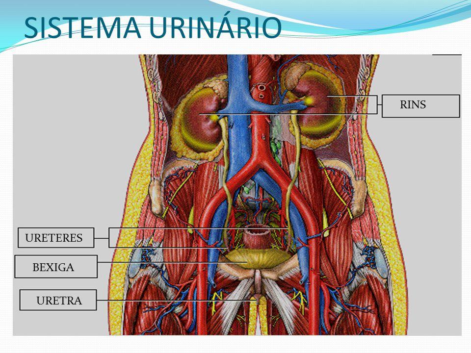 SISTEMA URINÁRIO RINS URETERES BEXIGA URETRA