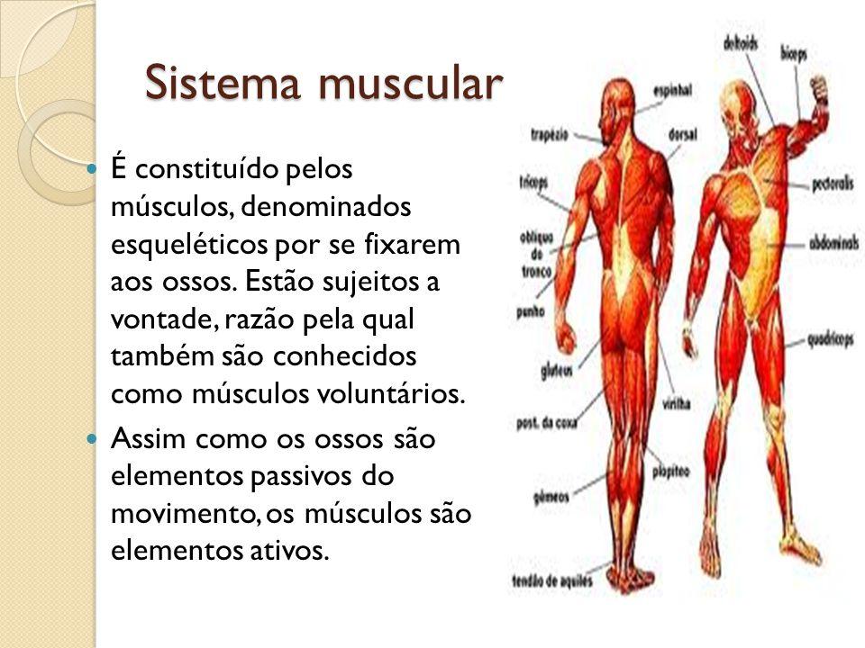 Sistema muscular É constituído pelos músculos, denominados esqueléticos por se fixarem aos ossos. Estão sujeitos a vontade, razão pela qual também são