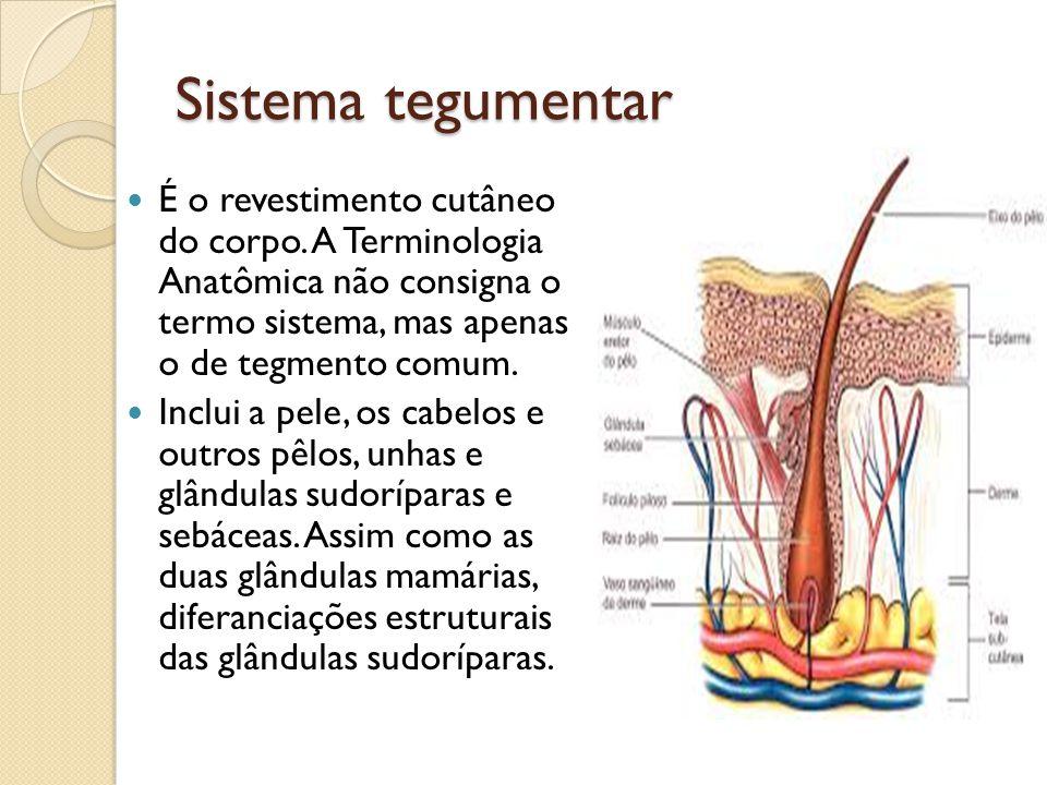 Sistema tegumentar É o revestimento cutâneo do corpo. A Terminologia Anatômica não consigna o termo sistema, mas apenas o de tegmento comum. Inclui a