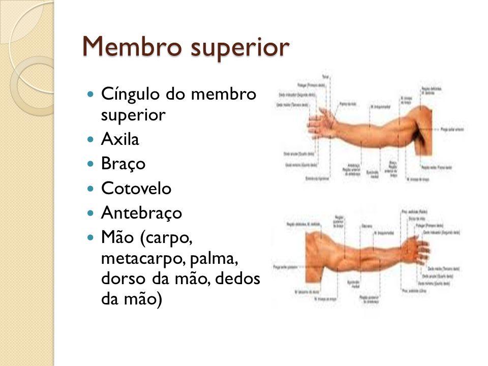 Membro superior Cíngulo do membro superior Axila Braço Cotovelo Antebraço Mão (carpo, metacarpo, palma, dorso da mão, dedos da mão)
