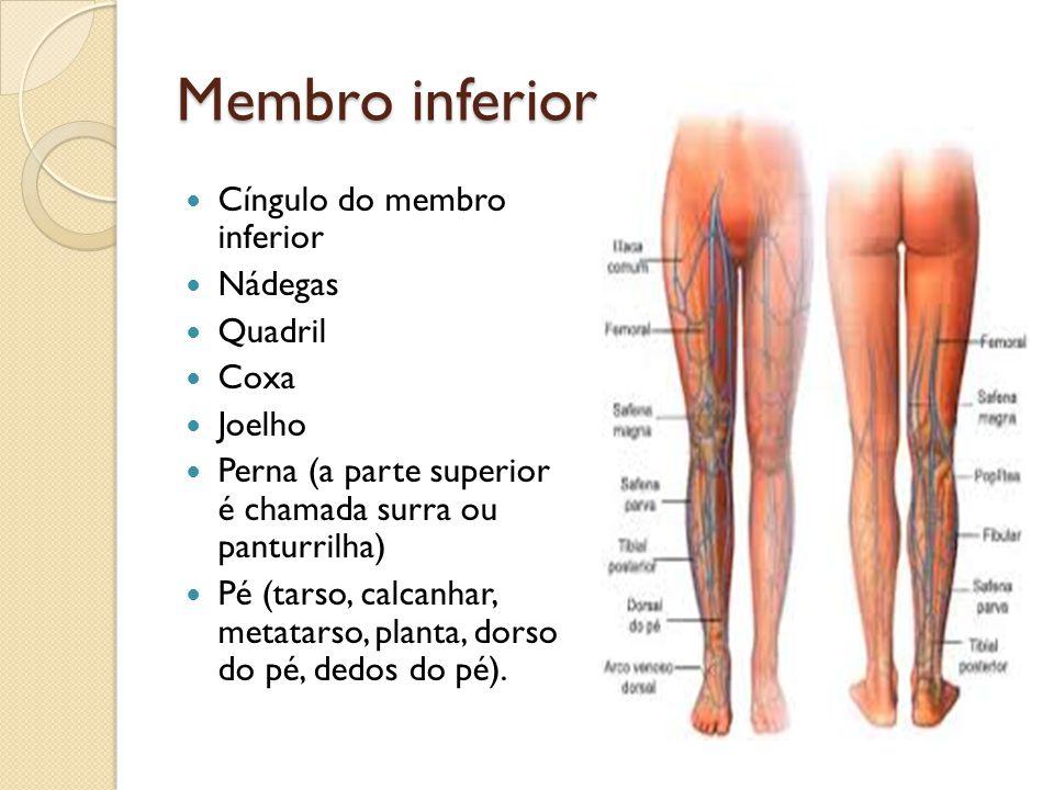 Membro inferior Cíngulo do membro inferior Nádegas Quadril Coxa Joelho Perna (a parte superior é chamada surra ou panturrilha) Pé (tarso, calcanhar, m