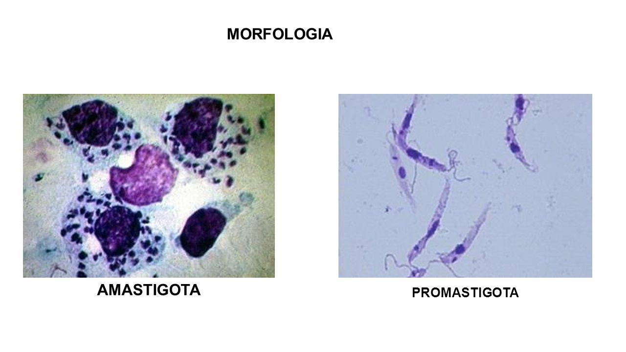 CICLO BIOLÓGICO Durante o repasto sangüíneo, a fêmea do flebotomíneo introduz formas promastigotas metacíclicas no local da picada; Promastigotas são interiorizadas por macrófagos teciduais; Promastigotas se transformam em amastigotas; Inicia-se o processo de reprodução no interior do vacúolo parasitóforo; Rompimento do macrófago e liberação dos parasitas no interstício; Parasitas são fagocitados por novo macrófago;