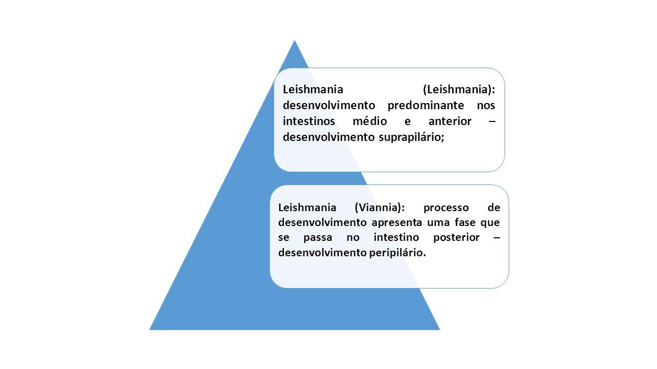 Representantes do subgênero Leishmania (Viannia) leishmanias do complexo braziliensis, representadas no Brasil pelas espécies: Le.